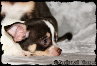April, chocolate with tan markings spotted smoothcoat female chihuahua puppy