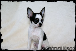 Autumn, black and white spotted with tan markings smoothcoat female chihuahua