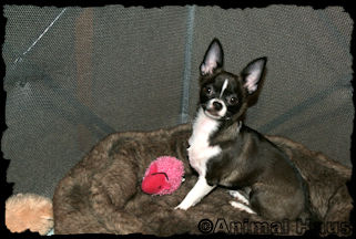 Bella Smoothcoat female chihuahua puppy