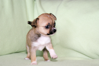 Frankie - Fawn with Black Sabeling And White Markings Smoothcoat Female Chihuahua Puppy