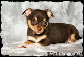 Kyle, Chocolate male chihuahua puppy