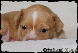 Fawn with white markings Smoothcoat Male Chihuahua puppy