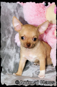 Mae, Fawn with white markings smoothcoat chihuahua puppy female
