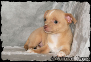 Paul, Fawn male chihuahua puppy
