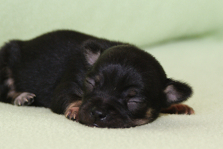 Black with Tan and white markings smoothcoat female chihuahua puppy