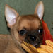 Kion- red smoothcoat male chihuahua puppy