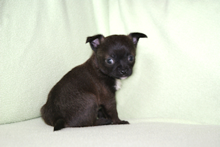 Willow - Black Sable with White Markings smoothcoat female chihuahua puppy
