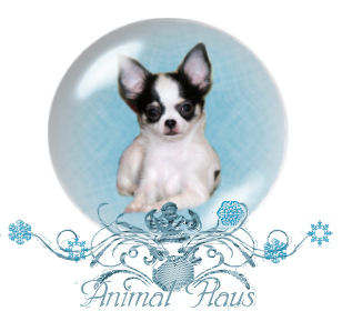 Chihuahua puppies of Animal Haus
