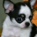 Autumn- black and white spotted with tan markings smoothcoat female chihuahua puppy
