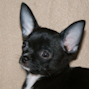 Chester - Black Smoothcoat Male Chihuahua Puppy