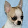 Gabe, Fawn and white spotted male smoothcoat chihuahua puppy