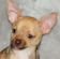 Madison, chocolate Sable with white markings Smoothcoat female chihuahua puppy