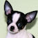 Melody, Black and white spotted smoothcoat female chihuahua puppy