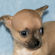 Minnie, fawn smoothcoat female chihuahua puppy
