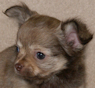 Stacy - Chocolate Sable Longcoat female Chihuahua Puppy