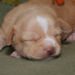 fawn and white markings smoothcoat male chihuahua puppy