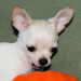 Marshmallow - fawn and white spotted smoothcoat male chihuahua puppy
